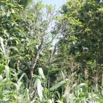 MAKAM DI: Makam seorang DI, Casroni, yang tewas ditembak adik kandungnya sendiri kampung Cirambeng, Desa Pamedaran, Kecamatan Ketanggungan, Brebes. Makam itu sekarang sudah dikelilingi tanaman jagung, namun masih ada tetengernya Pohon Kamboja.